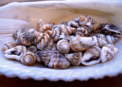 Fairy Sized Conch Shells (10 oz Jar) For Miniature Gardens