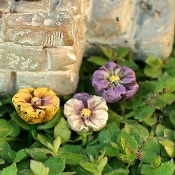 Set of 3 Fairy Pansies on Pick For Miniature Gardens
