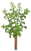 Jade Tree Permanent Botanical For Miniature Fairy Gardens